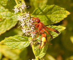 Mint eater (phillipbonsai) Tags: wasp greece crete potterwasp rhynchiumoculatum kokinahani
