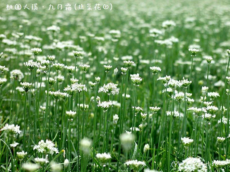 【韭菜花】桃園大溪.九月霜(壯觀的雪白花海)