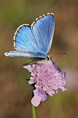 Blue Belle () Tags: blue flower macro butterfly photography photo foto photographer photos ngc npc fotografia fiore adonis farfalla stefano fotografo trucco lycaenidae tamron90 polyommatus farfallina bellargus zush licenide nikonflickraward stefanotrucco