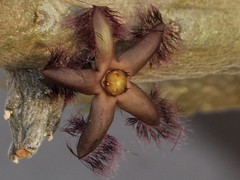 Rhytidocaulon ciliatum (frncscg) Tags: apocynaceae asclepiadaceae asclepiads rhytidocaulon