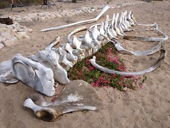"""Whale bones in Mexico • <a style=""""font-size:0.8em;"""" href=""""http://www.flickr.com/photos/77680067@N06/8022081866/"""" target=""""_blank"""">View on Flickr</a>"""