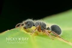 Echinopla sp. - DSC_5809 (nickybay) Tags: macro ant malaysia pahang frasershill echinopla