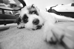Bailey BW (justinm) Tags: blackandwhite bw dog ball table carpet nose paw eyes nikon dof bulldog depthoffield tokina poodle chew fx boodle d600 1116mm