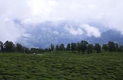 Temi ~ Monsoon Looks (Sandeep Santra) Tags: india mountain detail tree car canon landscape eos tea sikkim temi gangtok 500d incredibleindia temiteagarden canonefs1855mmf3556is