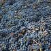 2012 Vyborny Cabernet Harvest 0008