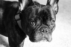 09-28-12 (1069) Sweet Face (Lainey1) Tags: bw dog french oz sony year bulldog third frenchie ozzy frogdog lainey1 zendog elainedudzinski bulldog09281210691069oz365the ozzythefrenchie