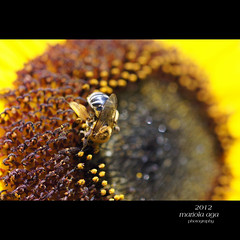 ... workaholic (mariola aga) Tags: summer brown flower macro nature yellow closeup garden square bokeh bee sunflower glencoe tones chicagobotanicgarden workaholic thegalaxy mygearandme mygearandmepremium mygearandmebronze mygearandmesilver mygearandmegold mygearandmeplatinum vigilantphotographersunite vpu2 vpu3 vpu4 vpu5 vpu6 vpu7 vpu8 vpu9 vpu10