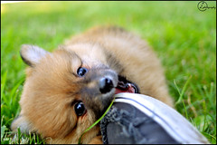 Pomeranian Baby Bear. The runt. (A&A Photography Services) Tags: bear dog baby cute animal lens prime nikon small 28mm boo f2 pomeranian pictureperfect runt boodog d3100