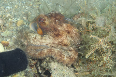 IMG_3172wb (mentalblock_DMD) Tags: nature scuba singerisland underwaterphotography rivierabeach shorediving bhb blueheronbridge lakeworthlagoon kevinbryant philfosterpark commonoctopusoctopusvulgaris jerrywilliamsmemorialbridge mentalblockkevin