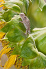 Baby Regal Horned Lizard on Giant Sunflower (Dan W Conway) Tags: sony lizard sunflower hornedlizard danconway prescottaz specanimal regalhornedlizard sonya700 mygearandme mygearandmepremium danconwayphotographycom httpwwwdanconwayphotographycom