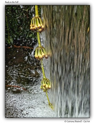Buds in the Fall (Cat-Art) Tags: ireland nature water waterfall powerscourt irishart catart cowicklow powerscourtgardens irishphotographer irishnature catshatwell catrionashatwell imagesfromireland shatwellimages budsinthefall wwwdoublevisionimageswebscom