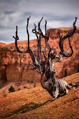 Dead Tree (Eduard Moldoveanu Photography) Tags: red orange tree clouds dead utah nationalpark desert canyon bryce