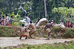 Bull Racing in Kerala - Photo 7 - Got the Bulls under Control (Anoop Negi) Tags: india game sports sport race rural photography photo photographer photos games kerala f