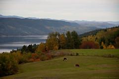 Cheveaux en automne (Gomz) Tags: trees horses panorama canada nature grass animal landscape cheval quebec automn flikr saguenay montain fjiord chicoutimi