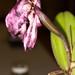 Cattleya hybrid seed pod