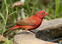 Red-billed Firefinch or Senegal Firefinch (Lagonosticta senegala) (Rosa Gamboias/ on vacation) Tags: naturaleza bird nature birds animals fauna wildlife natureza birding pssaro natura aves pjaros ave ornithology birdwatching pssaros oiseau oiseaux avifauna thegambia vidaselvagem redbilledfirefinch lagonostictasenegala firefinch passerines redbilled ornitologia africanfirefinch passerinebirds amarantedusngal senegalfirefinch senegalamarant rosagambias firefinches thegambiabirds amarantasenegalesa kairabahotelgardens