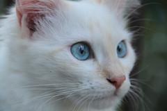 behind blue eyes (deadoll) Tags: cats cute love cat canon fur furry kat feline chat amor blueeyes kitty kittens 7d gata felinos felino felines neko katze fofo gatto babys gatti whitecat pur gatas adoreble canon7d