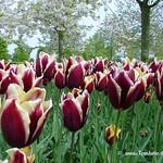 Dutch Tulips, Keukenhof Gardens, Holland - 3967 thumbnail