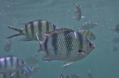 DSC09466 (andrewlorenzlong) Tags: fish swimming swim thailand snorkel snorkeling kohchang kohrang kohrangyai korangyai