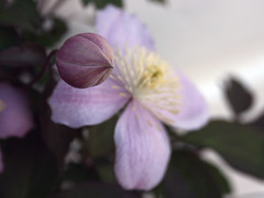 Now and Then (MarietteDodd) Tags: pink flower closeup clematis bud