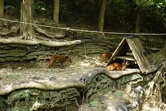 Formosan barking deer (ddsnet) Tags: new animals sony hsinchu taiwan experience     nex  peipu greenworld  mirrorless emount newemountexperience nex7 emountexperience