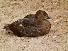 King Eider (P. Stubbs photo) Tags: duck devon waterfowl kingeider wildfowl aviculture seaduck somateriaspectabilis livingcoast