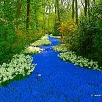 Dutch Tulips, Keukenhof Gardens, Holland - 0734  POTD thumbnail