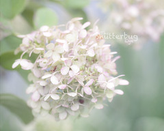 Sherbert frost (The Shutterbug Eye) Tags: pink white flower macro green nature floral photography photo illinois flora nikon picture photograph etsy wheaton fineartphotography mintgreen cantigny naturephotography softtones d90 fineartprint theshutterbugeye dkmiller
