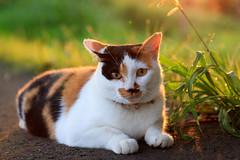 2016-7-24 morning cat (kuma_photography) Tags: japan sunrise morning cat         daybreak