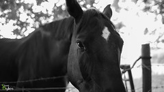 Black Beauty (Stuart_Byles) Tags: ears trees blackandwhite horse bw face