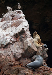 Seals and Seagulls (kate willmer) Tags: seal seagull rocks nature wildlife island ballestas peru