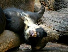 (marianasantosfotografia) Tags: animal bear urso
