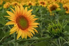 Sonnenblumen / Sunflowers (Claudia Bacher Photography) Tags: sonnenblumen sunflower flowers blumen natur nature blüte blossom gelb yellow suisse schweiz switzerland sonya7r outdoor