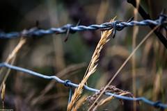 rusty thorns, HFF (fhenkemeyer) Tags: canoneos70d ireland irland hff fence