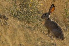 hairy_hare (backonthebus) Tags: rabbit jackrabbit hare tain morning early prickly brown dirt dust sunrise