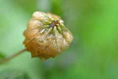 verblht 2 (DianaFE) Tags: dianafe blume blte wildkraut wiesenblume tropfen regen makro tiefenschrfe schrfentiefe