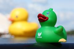 Duck Race-3