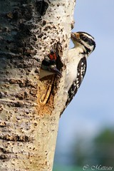 638  table! (clamato39) Tags: valcartier picbois woodpecker provincedequbec qubec canada oiseau bird arbre tree
