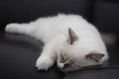 Canon_20160827018 (Snowy Olaf) Tags: kitten britishlonghair       feliscatus   canon eos400d ef50mmcompactmacro f25