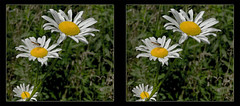 Hoverfly on Daisy 3 - Crosseye 3D (DarkOnus) Tags: pennsylvania buckscounty huawei mate8 cell phone 3d stereogram stereography stereo darkonus closeup macro insect fly hoverfly daisy daisies crossview crosseye