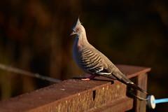 Crested Pigeon (Luke6876) Tags: crestedpigeon pigeon bird animal wildlife australianwildlife fence
