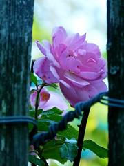 Ein Blick durch den Zaun - Looking through the Fence (GuteFee) Tags: impressionen rosen zaun