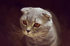 What is it? (ViktoriyaMurashko) Tags: cat whiskered scottishfold graycat
