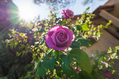 When Summer Came (Tiomax80) Tags: rose pink flower thorn 500px follow tiomax sun sunlight sunray flare lens green house home flowery blossom light ray sunflare wideangle 20mm wide angle d610 summer spring leaves thorns porch pinkrose violet roserose soleil