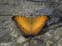 Vindula dejone (The Cruiser) (Green Baron Pro) Tags: 201608 sabah danumvalley malaysia butterfly nymphalidae nymphalinae
