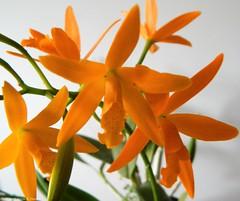 Orqudea nid (Sylvio-Orqudeas) Tags: orchids orchidaceae flores flowers