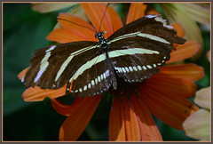*** Zebra Longwing (Heliconius charithonia) *** (Wolverine09J ~ 1 Million + Views) Tags: comozooaug16 zebralongwing insect butterflygarden exotic nature minnesota summer closeup batslair