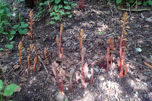 Orobanchaceae sp., Qnaravan, 2013.07.07 (03)