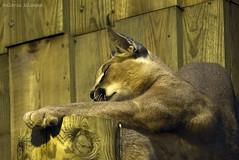 P1040514 (LaBonVampire) Tags: caracal animals nature leica leicalenses lumix