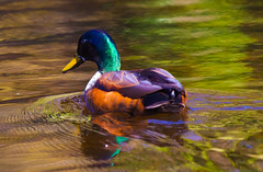 Glowing in the sun (Steve-h) Tags: nature natur natura naturaleza duck hybrid mallard drake colour colours green orange purple yellow gold brown reflections water swim swimmer swimming aquaticbird pond lake shimmer shimmering glow glowing wildlife wildfowl mating season park bushypark dublin ireland europe spring april 2016 digital exposure ef eos canon camera lens steveh bright